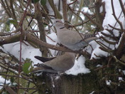 TWO COLLARED DOVES OUT IN THE SNOW