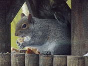 THE HUNGRY GREY SQUIRREL   PART 1