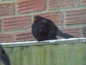 BLACKBIRD IMAGES