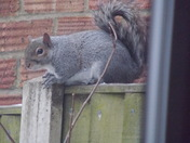 THE HUNGRY GREY SQUIRREL  PART 2
