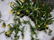 Spring bulbs push their way through the snow