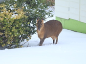 Muntjac deer looking for food in garden in snowy weather