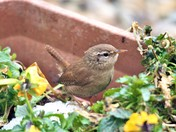 Wren in a pot