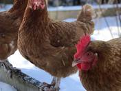 Chickens First Snow