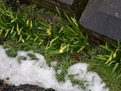 Tete a Tete Narcissus bravely flowering after the snow