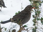 Young Blackbird in my Bideford Garden