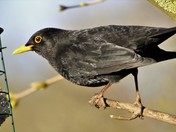 Blackbird on the feeder