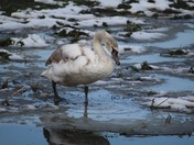 Swan on River Waveney wading through thawing ice