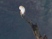 Barn Owl On The Look Out!