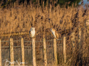 two Barn owls together