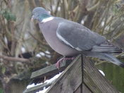 SIX IMAGES OF A WOODPIGEON