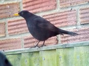 A MALE BLACKBIRD APPEARS ON THE NEIGHBOURS FENCE