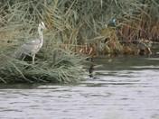 Heron,Kingfisher,Cormorant