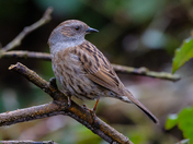 Dunnock in the woods