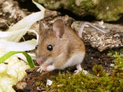 Wood mouse.(photo challenge)