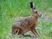 Brown hare.(photo challenge)