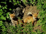 Fox cubs at their earth.(photo challenge)