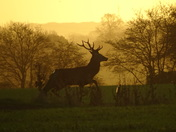 Red deer stag at sunrise.(photo challenge)