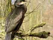 Juvenile Shag at Needham Lake