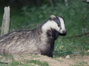 Badger at Layham