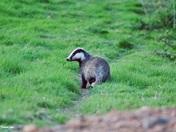 Badger at Layham