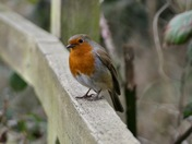 The beautiful Robin.