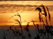 Silhouettes - Reeds on the Fen at sunset