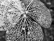 Skeletonized Hydrangea