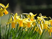 Spring Daffodils Nodding In The Breeze