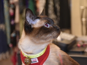 SIAMESE CAT DOING SOME SHOPPING