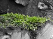 Winter walk around Ringland - Moss on some logs