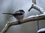 Longtail tit in the snow