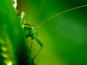 Green. Mr Bush Cricket