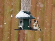 GOLDFINCH ON FEEDER IN THE SNOW