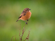 Green. Stonechat female