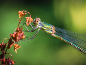 Green. Willow Emerald Damselfly