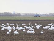 Fenland swans