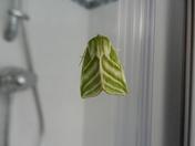 A green silver line moth
