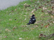 A blackbird spotted on our afternoon walk