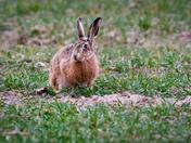 Strumpshaw Hare
