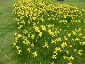 Daffodils in Barkingside Recreation Ground