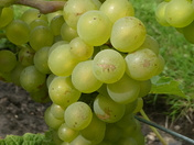 Green: Grapes