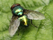 Green Fly.