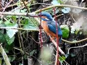 Kingfisher ranworth broad