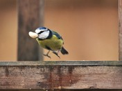 Blue Tit practise.s for the ski jump