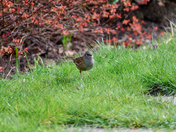 Dunnock just hopping about