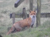 Fox at damgate marsh acle
