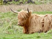 Highland Cow at Lynford