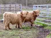 Highland cattle at Lynford