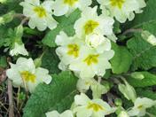 Spring flowers in Groton